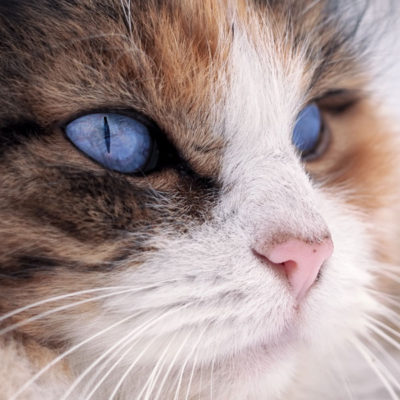 cat blue eyes stock image